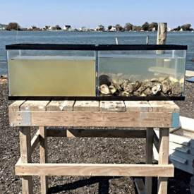 Oysters act as a natural seawater filtration system